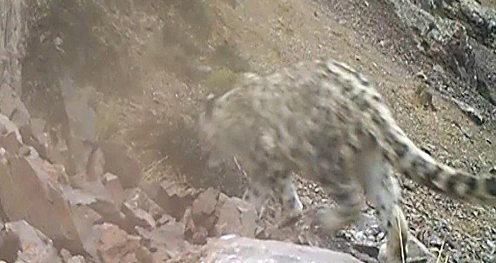 Как гуляет снежный барс. Кадры с видеоловушек на Иссык-Куле
