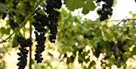 Виноградник в Знауре