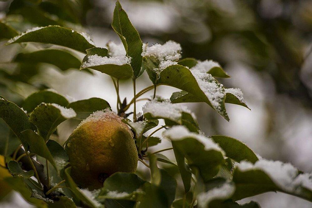 Плоды на фруктовых деревьях скорее всего померзли.