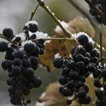 Неубранный виноград подтверждает, что снег оказался сюрпризом.