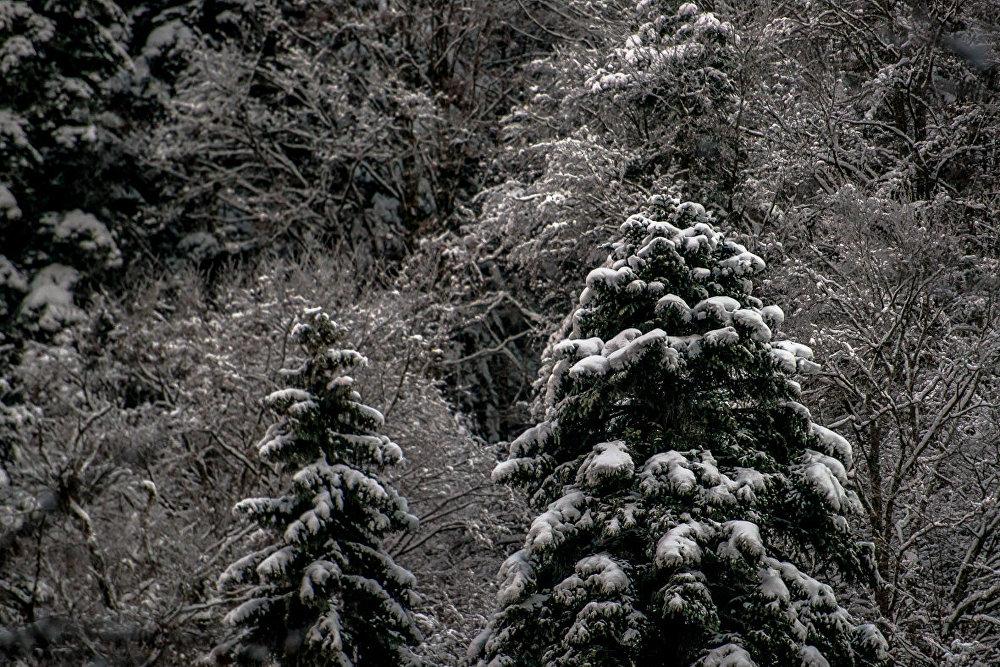 Приодетые снегом вековые ели.