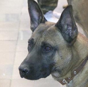 Трех уникальных служебных собак-клонов впервые привезли в Россию