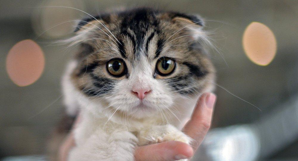 Котенок породы шотландская вислоухая