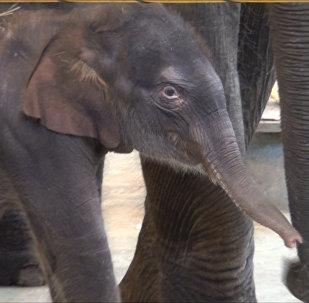 В семье слонов Синты и Юмы ростовского зоопарка родился слоненок