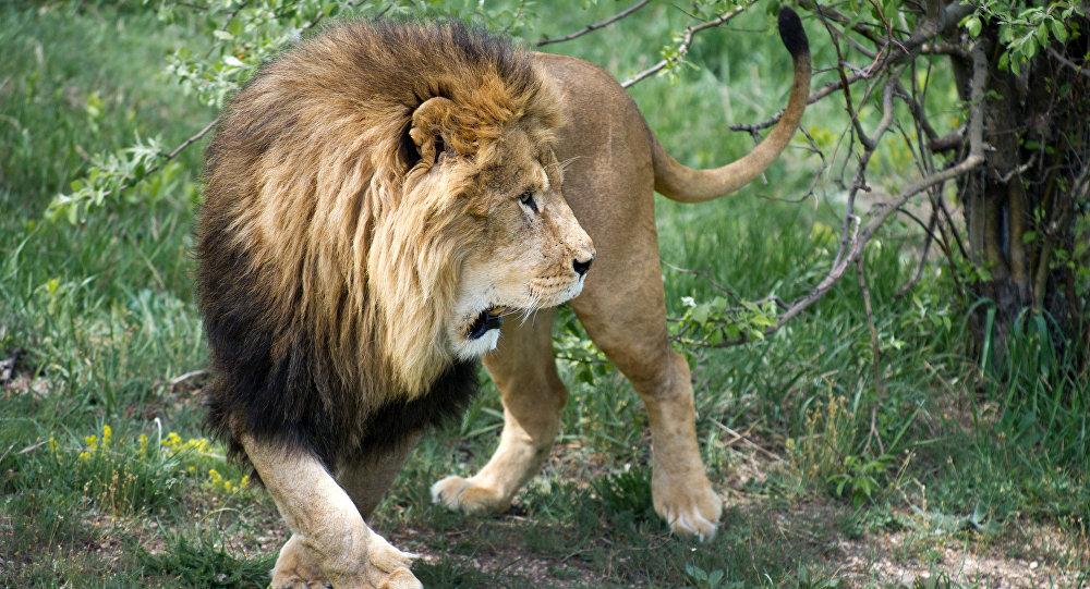 Видео изТанзании: храбрый пес напугал льва, гулявшего сльвицей