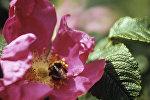 Шмель на цветке шиповника