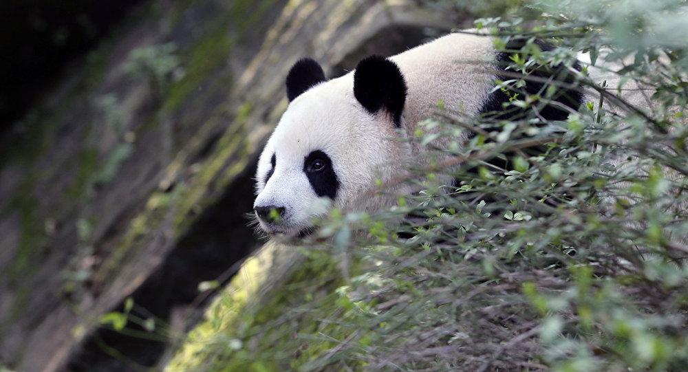 Бешеная панда растерзала домашнюю козу— Китайцы вшоке