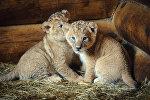 Львята в Нижегородском зоопарке Мишутка