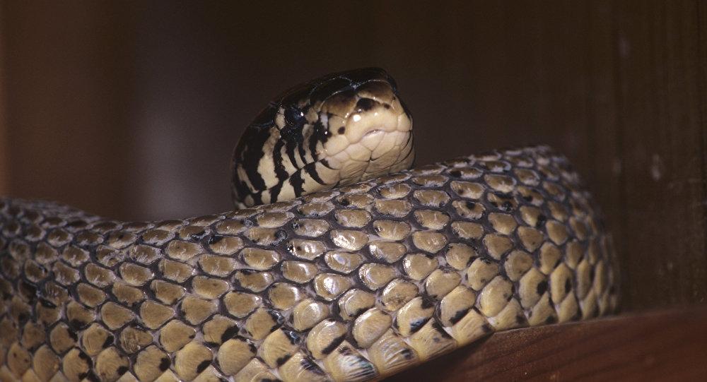 Черно-белая кобра