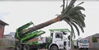 Техника пересадки огромных деревьев