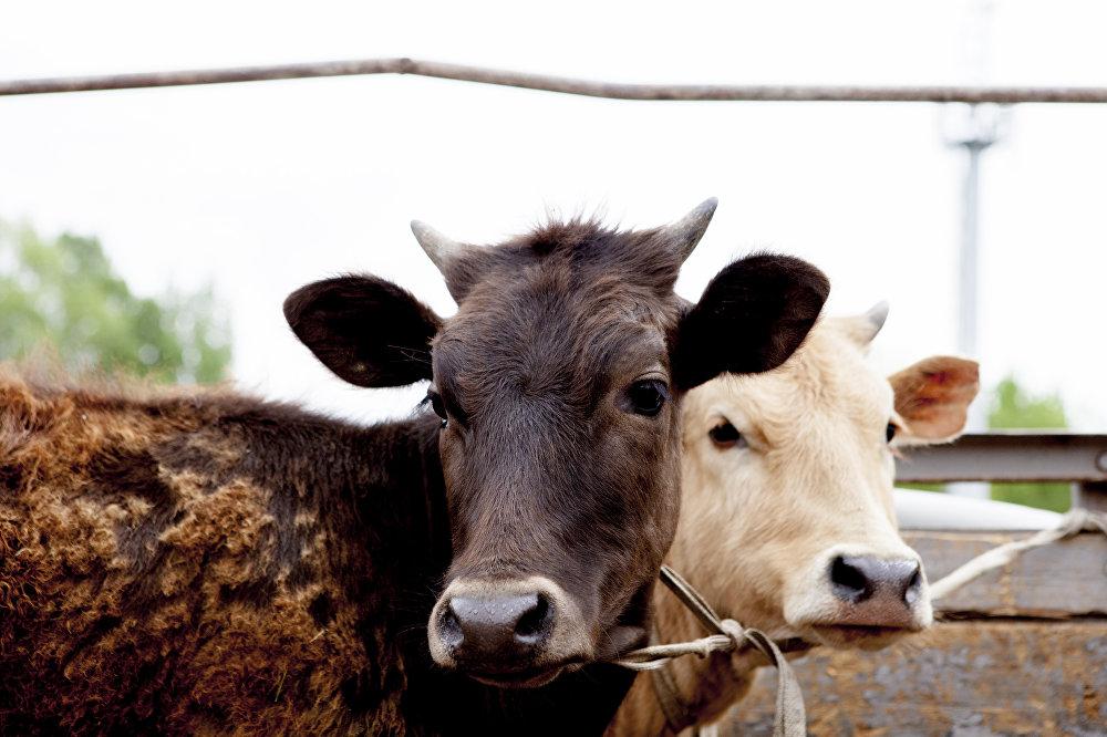 На рынке также можно приобрести крупный рогатый скот