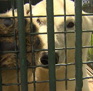 Белая медведица Ника сделала прогноз на ближайшие матчи Кубка конфедераций
