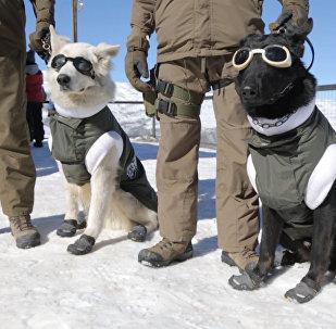 Собаки в экипировке для работы на горнолыжных склонах в Чили