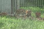 Совсем как котята: малыши-гепарды играли с мамой в пражском зоопарке