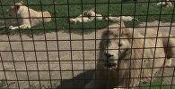 В зоопарке Dvorec на чешской Боровани на мае родились 0 белых львят