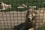 В зоопарке Dvorec в чешской Боровани в мае родились 5 белых львят