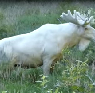 Rare white moose takes a summer dip