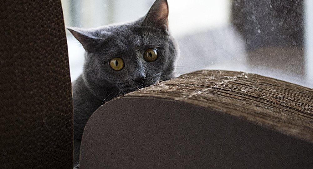 Кошачий зомби-паразит может вызывать рак иболезни мозга учеловека