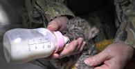Детеныша амурского леопарда выкармливают из бутылочки в зоопарке Ялты