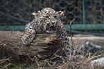 Центр разведения и реабилитации леопарда в Сочи