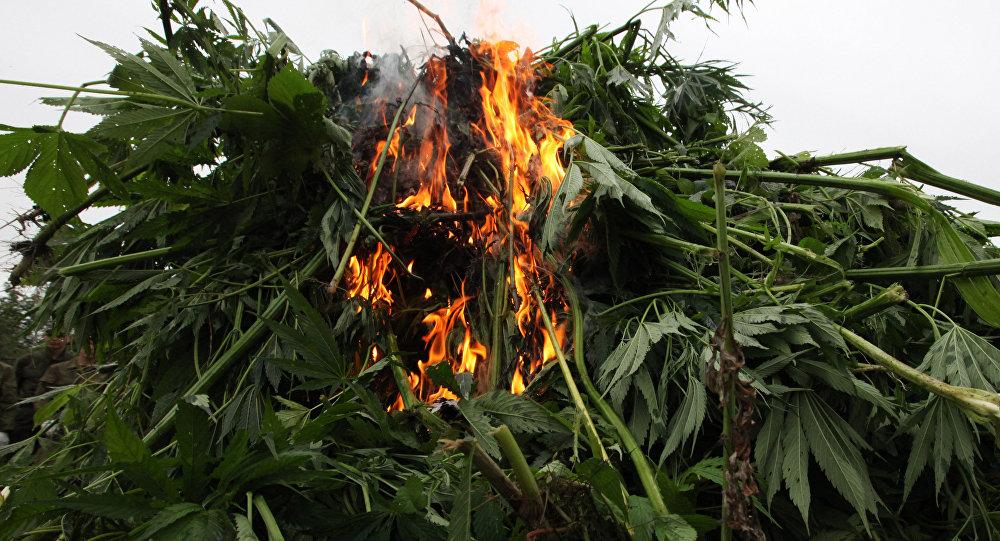 ВРаменском полицейские сожгли тонну дикорастущей конопли