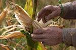 Уборка кукурузы в Абхазии