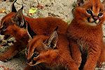 Пять очень редких и необычных пород кошек