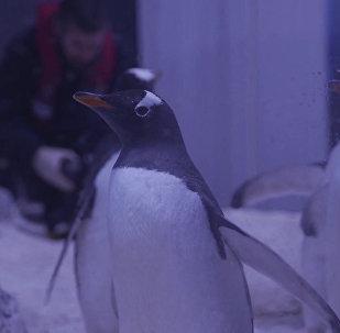 В Лондоне посетителям аквариума Морская жизнь показали пингвинов хинду