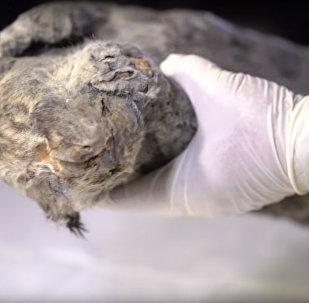 В Якутии нашли мумию пещерного львенка