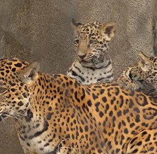 В зоопарке Хьюстона представили посетителям детенышей ягуара