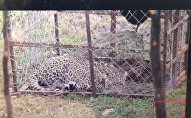 Ученые предполагают, что пойманный зверь может быть одним из трех животных выпущенных в Кавказские горы в 2016 году Сочинским центром разведения и акклиматизации леопардов