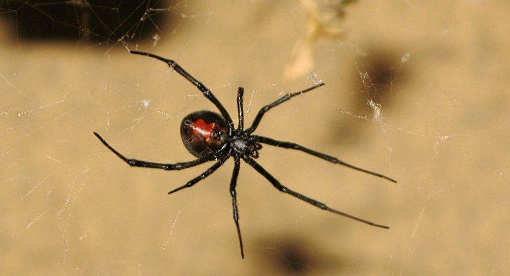 Смертельно опасные пауки в Австралии