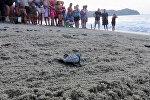 Тысячи новорожденных морских черепашек отправились в Тихий океан