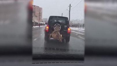Привязанный к внедорожнику мертвый волк попал на видео во Владикавказе