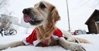 Собака лабрадор, участница новогоднего забега