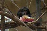 Зооподарки: обитатели немецкого зоопарка получили рождественские подарки