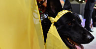 Выставка собак Золотой ошейник-2016