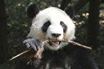 Научно-исследовательский центр разведения панд в Китае