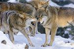 В Северной Осетии отстреливают волков