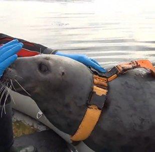 В Мурманске готовят отряд боевых тюленей
