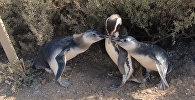 Магеллановы пингвины в Пунта Томбо: как играют морские птицы