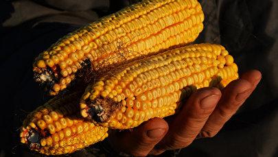 Уборка кукурузы в Приморье