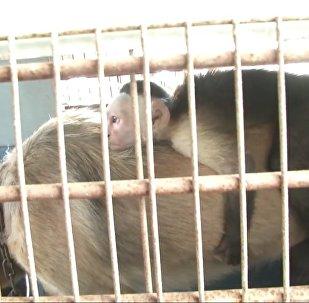 Друг в беде не бросит: как колумбийская собака усыновила обезьяну-капуцина