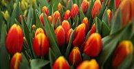 Выращивание тюльпанов в Краснодарском крае