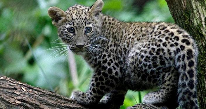 кавказские леопарды (барсы)