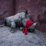 Снимок из серии The Return of the Rhino южноафриканского фотографа Neil Aldridge из категории Natural World & Wildlife (Professional), вошедший в шортлист фотоконкурса 2018 Sony World Photography Awards