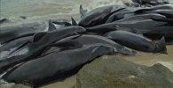 В Австралии на берег выбросились более 150 дельфинов