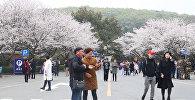 Весна на пороге: в Китае расцвела сакура