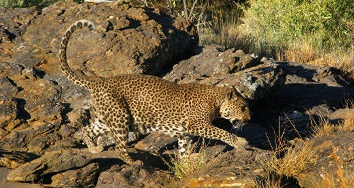 Среднеазиатский леопард