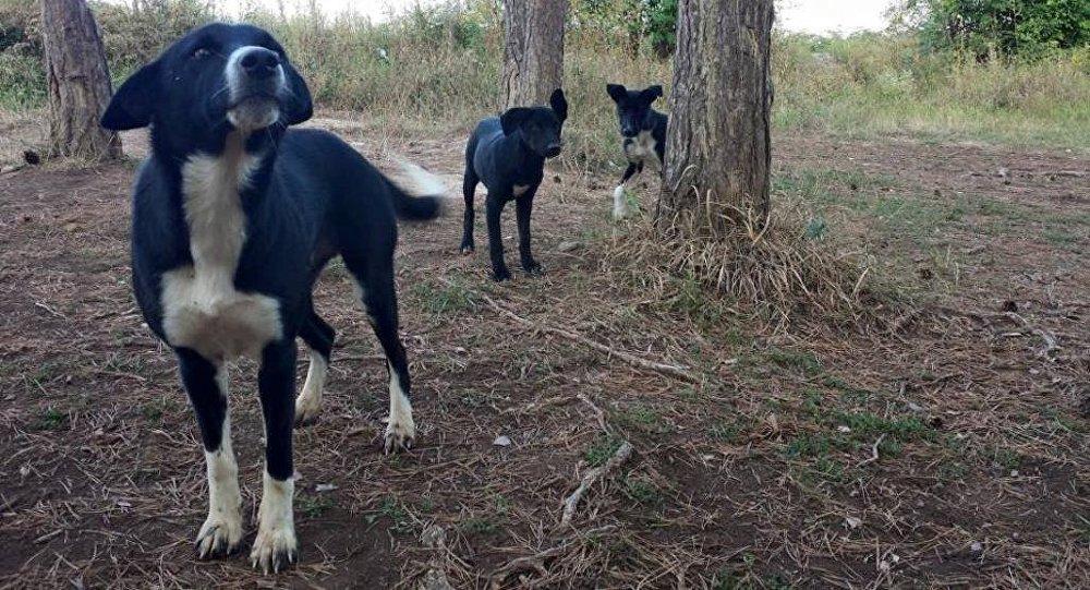 Бродячие собаки в Цхинвале